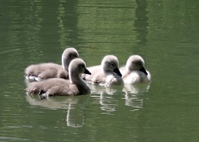 Four cygnets on water with ripples