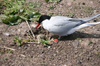arctic-tern-with-nest-and-egg-on-path
