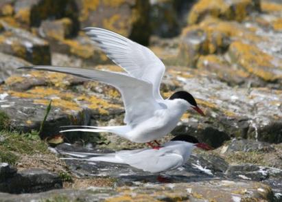 arctic-terns-mating