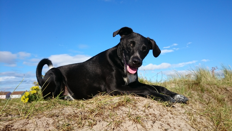 black-and-white-dog-squinting-in-the-sun-lying-on-sand-dune