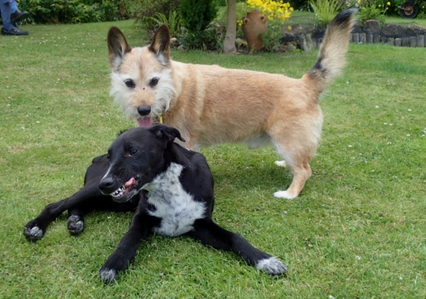 Black-and-white-dog-with-pale-brown-dog-playing-on-grass