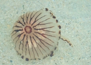 Compass jellyfish swimming in sea
