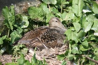 eider-duck-female-nesting-in-plants-on-the-ground