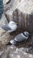 kittiwake-and-chick-on-clifftop-nest