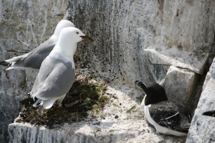 kittiwakes-and-razorbill-sharing-nest-site-on-cliff-face