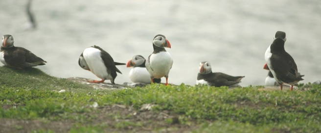 puffins-in-a-row-on-clifftop