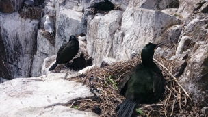 Shags-nesting-on-cliffs