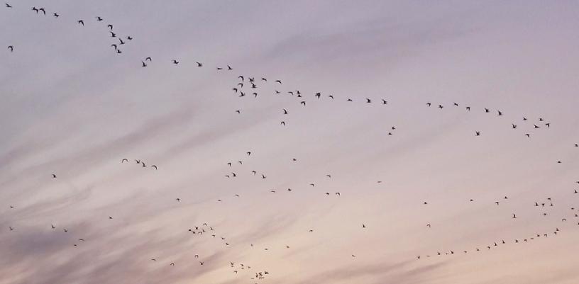 twilight-sky-with-flock-of-birds