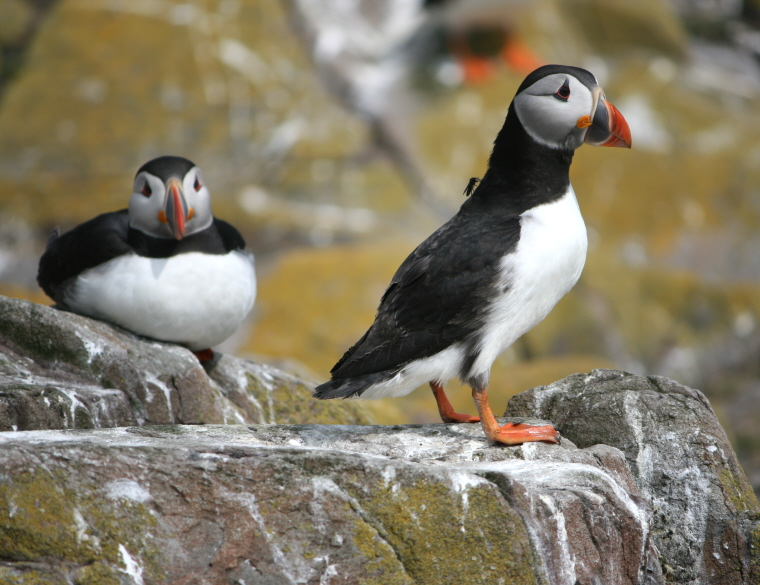 two-puffins-on-rocks-one-standing-with-fly-on-back-one-lying-down