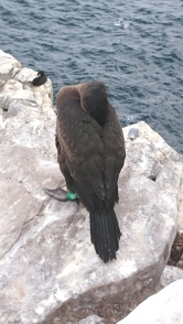 young-cormorant-battling-to-take-a-rest-in-high-wind-on-clifftop