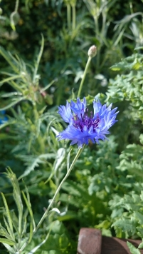 cornflower-in-wheelbarrow