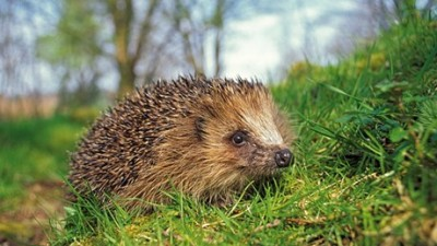 Image of hedgehog-in-grass