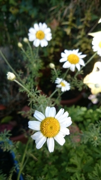 ox-eye-daisy-in-wheelbarrow