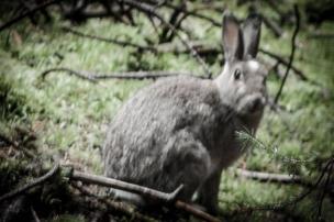 rabbit in undergrowth