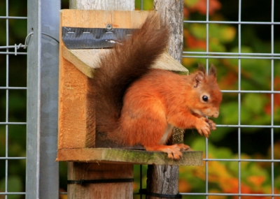 red-squirrel-on-feeder-close-up