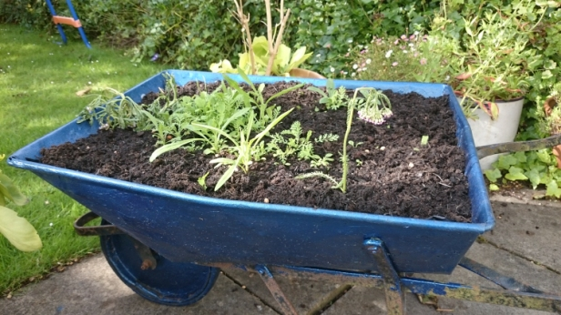 seedlings-sprouting-in-blue-wheelbarrow