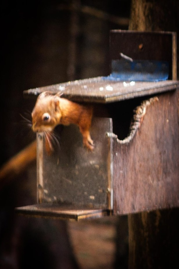 red squirrel-climbing out of-box