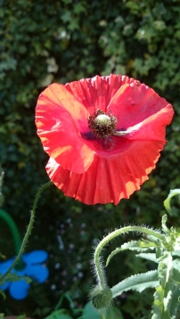 wild-poppy-in-wheelbarrow