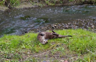 Otter rolling on river bank