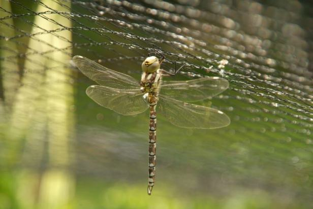 Semi-dried Southern Hawker Dragonfly hanging from net large