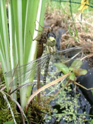 Image of Southern Hawker Dragonfly teneral hanging to dry from larva case on aqautic pond plants