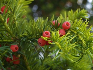 Yew berries on branch