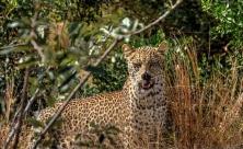 Leopard in African bush