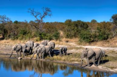herd of 11 elephants-at-watering-hole in African bush