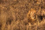 male-lion in African bush