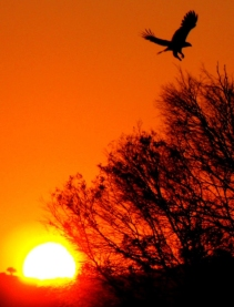 Silhouette of eagle flying towards trees at sunset