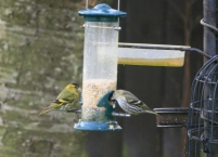 Image of siskin-male-and-female-on-seed-feeder-in-garden