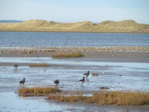Mud flat with grasses in foreground with 4 geese and a flock of waders with sea and dunes behind