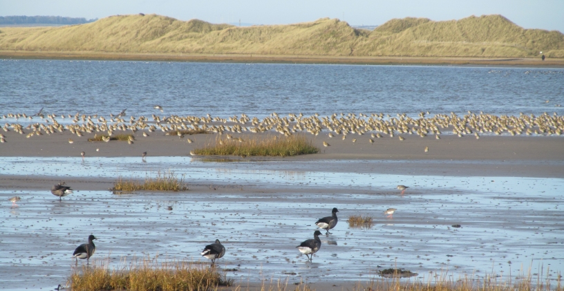 Holy Island mud flat with grasses at front, 4 geese and flock of waders with sea & dunes behind