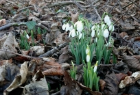 clump-of-snowdrops-growing-in-brown-autumn-leaves
