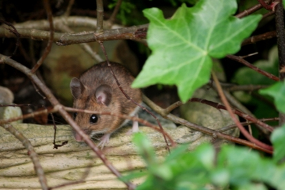 wood-mouse-in-ivy-leaves