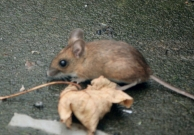 wood-mouse-on-patio-with-sycamore-leaf
