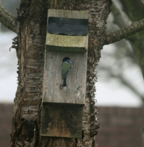 bluetit-investigating-nestbox-on-tree-in-garden