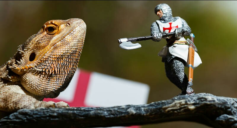 Bearded Dragon on branch with St George figurine and Engad flag behind