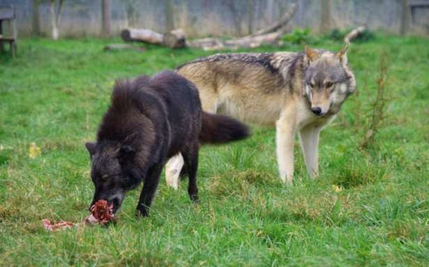 Black wolf eating meat with grey wolf waiting behind