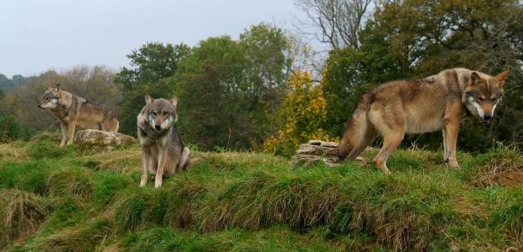 Three wolves relaxing on rocky mound with woods in background