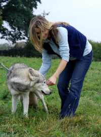 Woman bending to stroke chained wolf