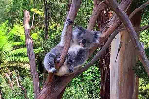 Image of koala sitting in a tree half asleep