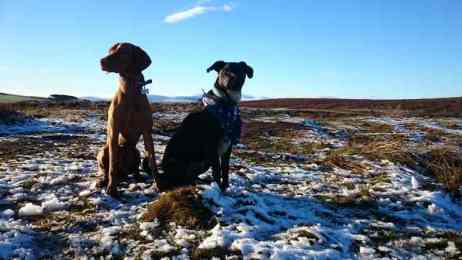 Image of black dog sitting next to ginger dog sitting in snowy heather on moor with distant hills