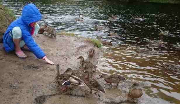 Image of girl in blue coat with hood up squatting on mud next to river feeding seed to juvenile mallard ducks