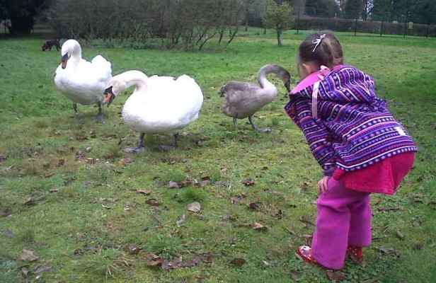 Image of girl in purple fleeces and pink trousers bending with hands on knees to meet pair of swans and cygnet on grass in front of trees