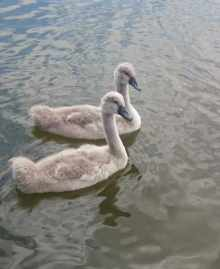 Image of two fluffy grey cygnets in water