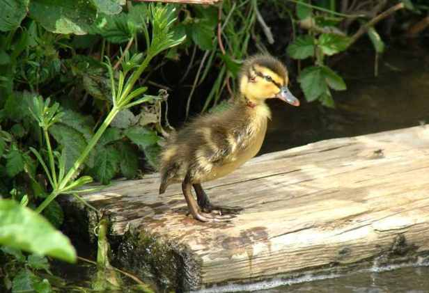 Image of yellow and black fluufy mallard duckiling standing on wooden plank in stream with bankside plants in background