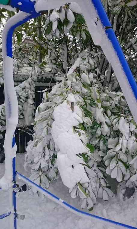Image of snow covered evergreen laurel branches drooping under the weight